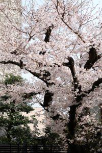 桜 満開です!