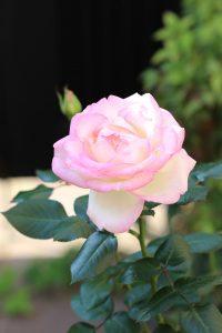 駐車場工事は終了しました。薔薇が咲きました。